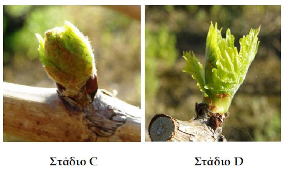 (Αναπαράσταση) Η νέα βλάστηση του αμπελιού προκύπτει κάθε άνοιξη από το γόνατο (κόμβο) των κληματίδων.