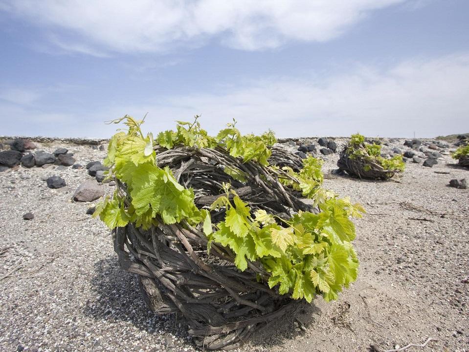 Ο ειδικός τύπος κλαδέματος της αμπέλου δημιουργεί το στεφάνη, στο εσωτερικό των οποίων αναπτύσσονται τα τσαμπιά των σταφυλιών. Έτσι ακόμη και το υπέργειο μέρος του φυτού βρίσκεται σε επαφή με το έδαφος.